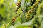 Giá nông sản hôm nay 10/4: Cà phê giảm nhẹ, giá tiêu cao nhất 74.000 đồng/kg