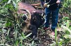 Bò tót rừng 700 kg chết trong khu bảo tồn ở Đồng Nai