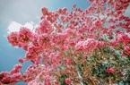 Con đường hoa kèn hồng ở miền Tây đẹp cỡ nào mà giới trẻ đổ xô đến check in?