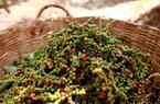 Giá nông sản hôm nay 16/4: Tiêu giảm giá phiên thứ 3, cà phê dừng tăng