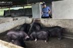 Lai Châu: Ông nông dân bỏ nghề vôi vữa về quê nuôi những con 4 chân nào mà cứ sáng ra là có 1 triệu?