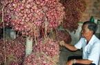 Hành tím Trung Quốc siêu rẻ 3.000 đồng/kg tràn sang, hành tím Vĩnh Châu giảm giá theo, tồn đọng kỷ lục 50.000 tấn