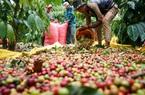 Giá nông sản hôm nay 19/4: Giá tiêu vẫn giảm, cà phê hướng tới mốc 33 triệu đồng/tấn