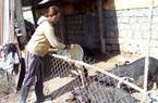 70 con heo giống Lũng Pù lạ mắt sau 2 năm đưa từ tỉnh Hà Giang vào nuôi ở Ninh Thuận bây giờ ra sao?