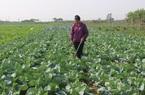 Nông dân Thủ đô trồng rau đạt chuẩn OCOP, vừa bán giá cao vừa xuất đi nước ngoài