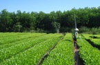Liên kết trồng rừng, không lo rủi ro nguồn gốc