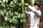 """Đồng Nai: Giá tiêu tăng gấp đôi, nông dân dốc sức chăm vườn mong cây tiêu """"đẻ"""" sung mãn như xưa"""