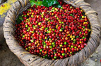 Giá nông sản hôm nay 28/4: Cà phê tăng vọt, tiêu vẫn có xu hướng đi xuống