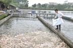 """Phú Thọ: Nuôi cá công nghệ """"sông trong ao"""", đổ cám xuống cá ăn rào rào, nhà nào """"liều"""" thì """"ăn nhiều"""""""