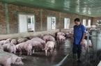 Được tiếp vốn, một nông dân ở Đà Nẵng vững tin tái đàn lợn, lãi hơn 500 triệu đồng/năm