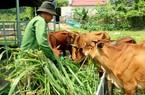 Nuôi 60 con bò, mỗi năm bán 15-20 con, ông nông dân tỉnh Quảng Ninh thu về được mấy trăm triệu đồng?