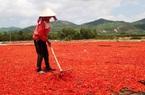 """Bình Định: Trung Quốc không mua, giá ớt giảm mạnh, từ ớt chỉ thiên đến ớt chỉ địa đều """"rớt cái bịch"""""""