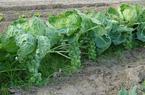 Loại bắp cải mini này có gì đặc biệt mà được coi là nông sản cao cấp hiện nay?