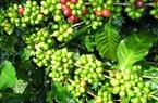Giá nông sản hôm nay 4/5: Giá tiêu trong nước đi ngang, cà phê Arabica giảm nhẹ