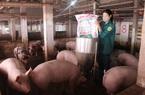 """Nam Định: Giá lợn hơi """"rớt cái bịch"""" nông dân nuôi lợn thấp thỏm không biết bao giờ giá lợn chạm """"đáy"""""""