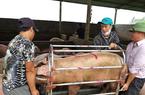 Giá heo hơi xuống dưới 40.000 đồng/kg, Cục Chăn nuôi lý giải vì sao chưa đưa thịt heo vào diện bình ổn giá