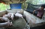Giá heo hơi hôm nay đi ngang, dự báo nhu cầu tiêu dùng thịt lợn, gia cầm dịp cuối năm