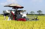 Nông dân phấn khởi vì giống lúa VNR20 vừa cho năng suất lại không lo đầu ra
