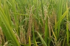 Hải Dương: Đầu vụ làm tốt điều này, khi nông dân Nam Sách gặt lúa thấy nặng tay hẳn