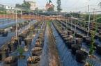 """Hải Dương: Dấu hiệu bất thường của mô hình """"phủ xanh nha đam đất Việt"""" siêu lợi nhuận"""