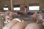 Giá lợn hơi còn giảm sâu hết tháng 10, tháng 11 mới tăng trở lại?
