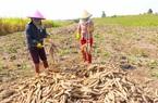 Loại nông sản bình dân bất ngờ bán cả triệu tấn, thu 443 triệu USD do Trung Quốc có bao nhiêu cũng mua bằng sạch