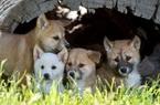 Chó Dingo nước Úc - loài chó hoang cực khó để thuần hóa nhưng lại siêu đáng yêu