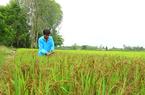 Đồng Tháp: Ngắm ruộng lúa lạ, bông nào bông nấy đen nhem nhẻm, ông nông dân làm ra thứ gạo hảo hạng