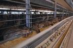 Hàng triệu quả trứng chim cút đã được sinh ra như thế nào?