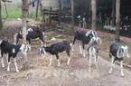 Ninh Thuận: Giá dê, cừu đạt đỉnh, tăng cao nhất từ đầu năm đến nay