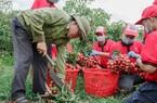 190 thương nhân Trung Quốc được sang thu mua vải thiều Bắc Giang