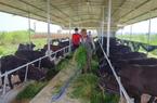 Quảng Nam: Hội Nông dân Điện Bàn giải ngân 1,5 tỷ đồng Quỹ Hỗ trợ nông dân cho dự án nuôi bò