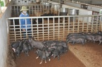 Lào Cai: Nuôi hơn 8.000 con lợn đen đặc sản, ông chủ này thu nhập trên 10 tỷ đồng/năm
