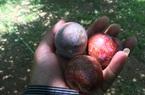 """Hiếm có: Mộc Châu trúng đậm mận """"VIP"""", thương lái vào vườn chọn từng quả, đầu mùa nông dân đã thu tiền tỷ"""