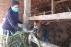 """Bình Định: Đang khỏe mạnh, bò bỗng dưng nổi u cục bất thường, nông dân """"lo sốt vó"""""""