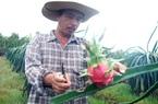 Khám phá vườn trồng thanh long lớn nhất, độc đáo nhất ở thành phố Hồ Chí Minh, nhiều người kéo đến xem