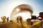 Ấn Độ bước vào vụ thu hoạch kỷ lục, giá gạo có thể giảm