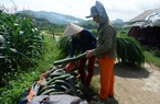 Hòa Bình: Nông dân lao đao vì giá bí xanh chỉ bằng ly trà đá, còn 2.000 đồng/kg, chất đống đầy đồng