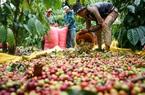 Giá nông sản hôm nay 7/5: Giá cà phê khởi sắc, vượt ngưỡng 34 triệu đồng/tấn