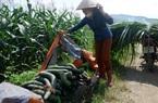 """CLIP: Tại huyện Kim Bôi, giá bí xanh """"chạm đáy, chỉ 2.000 đồng/kg, nông dân """"khóc ròng"""""""