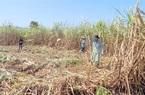 Nhà máy đường gặp khó, nông dân chịu khổ vì đường lậu