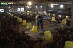 Đứt gãy chuỗi cung ứng, nông dân Hà Nội lao đao tìm đầu ra cho đàn gà quá lứa