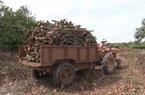 Đồng Nai: Giá xoài liên tục giảm sâu, nông dân ngậm ngùi cưa bỏ cây xoài