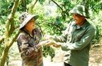 Mận hậu Ruby Sơn La vào Nam bán đắt ngang thịt bò, nhiều người vẫn tìm mua bằng được