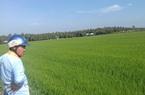 Tiền Giang: Ông giám đốc xạ giống lúa gì mà đạt tới 13 tiêu chuẩn châu Âu, cứ gặt là doanh nghiệp đòi mua gạo?