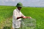 """Bình Thuận: Ai dè vật dụng có cái tên """"bẫy cây trồng"""" lại đem đi dụ bắt được la liệt chuột đồng"""