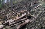 Vụ hàng chục cây thông 3 lá nhiều năm tuổi bị cưa hạ, cắt khúc: Tỉnh Lâm Đồng chỉ đạo khẩn trương điều tra