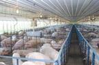 Nhờ công nghệ đặc biệt, ngành chăn nuôi lợn không lo ô nhiễm lại tăng năng suất