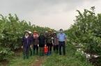 Chính quyền xã Đồng Quang có nhiều đổi mới, chung tay tiêu thụ ổi cho dân
