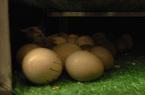 Sóc Trăng: Hỗ trợ nông dân thực hiện mô hình nuôi chim trĩ lấy trứng chất lượng cao